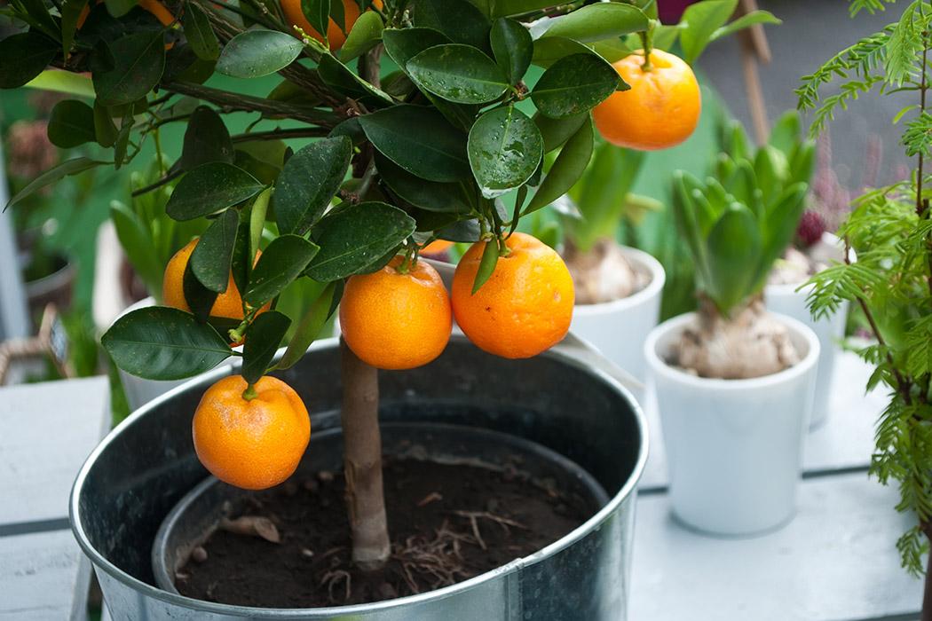 se pueden tener rboles frutales en maceta florister a